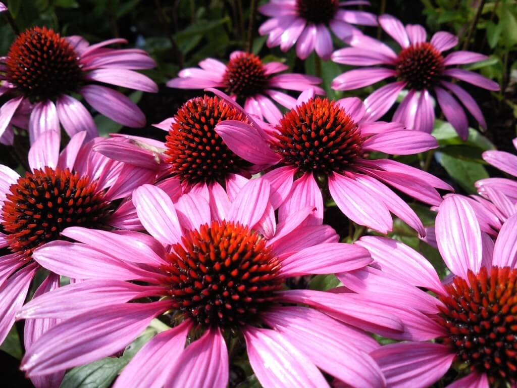 Enchinacea